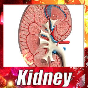 3dsmax kidney anatomy -