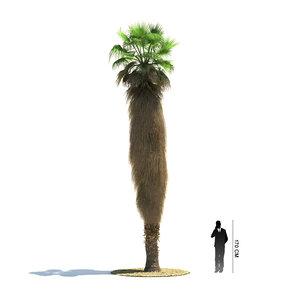 3ds exotic tree washingtonia filifera