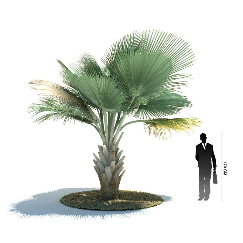 exotic tree copernica baileyana 3d 3ds
