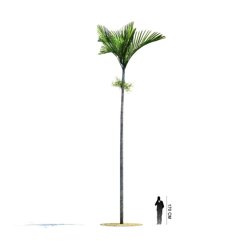 exotic tree veitchia joannis 3d model