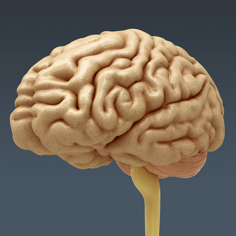 3ds Max Human Brain Internal Anatomy