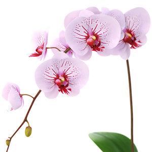 realistic orchid flower 3d model