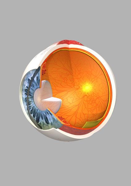 obj human eye section