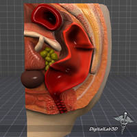 human rectum anus anatomy 3d c4d
