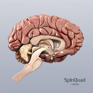 3d brain human man model