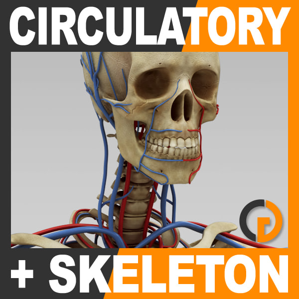 max human circulatory skeleton -