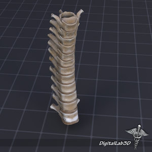 human thoracic vertebrae x