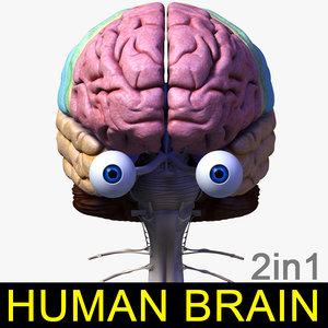 3d max human brain