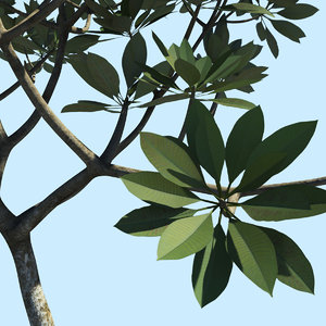 tree frangipani 3d model