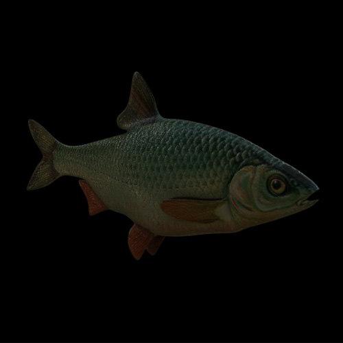 roach fish c4d