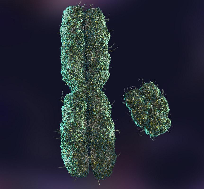 x y chromosomes 3d model X And Y Chromosomes