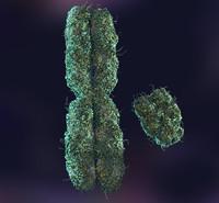 x y chromosomes 3d model