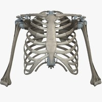 shoulder bones anatomy thoracic 3d fbx