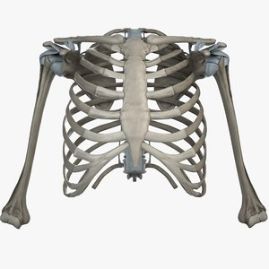 shoulder bones anatomy thoracic 3d fbx