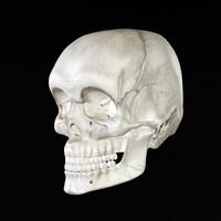 Detailed Human Skull