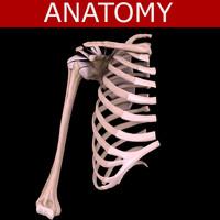 3d model shoulder bones