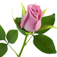 maya rose flower
