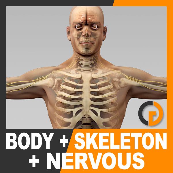 anatomically human male body 3d max