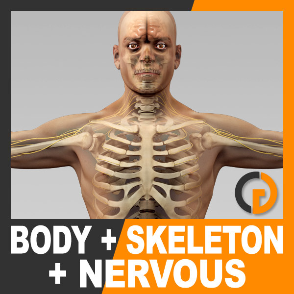 anatomically human male body 3d max