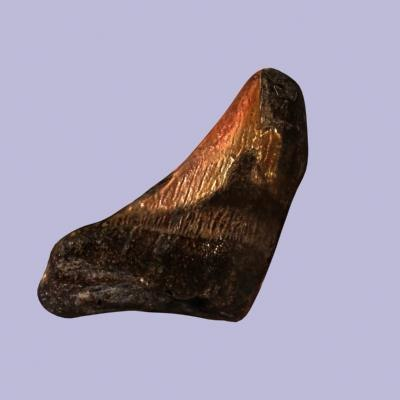 3dsmax fossil sharks tooth