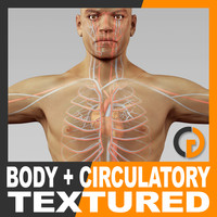 Human Male Body and Circulatory System Textured - Anatomy