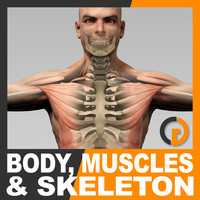 Human Male Body Muscular System and Skeleton - Anatomy