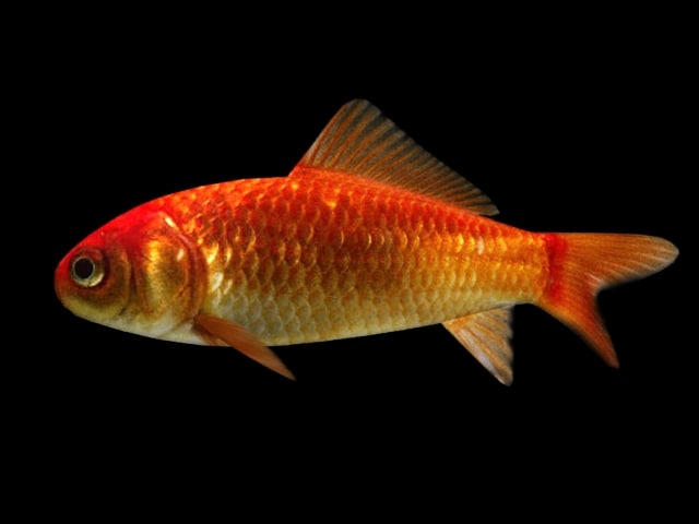 maya goldfish fish animate