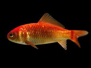 maya goldfish fish animate