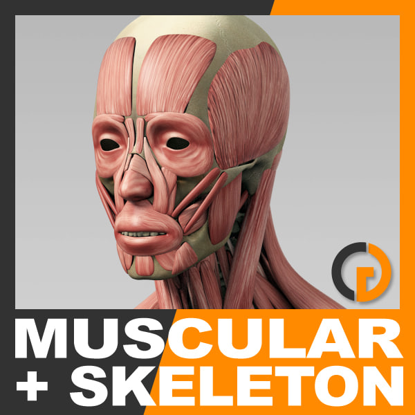 3d anatomically human muscular skeleton