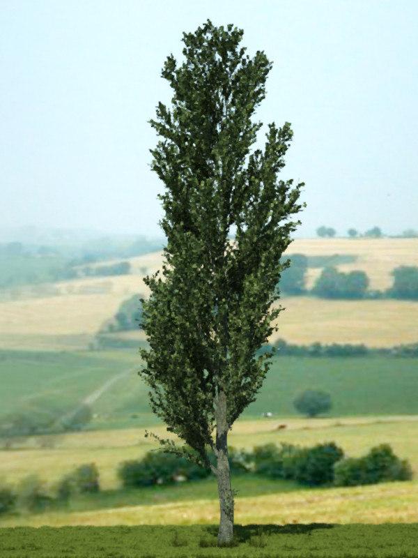 3d poplar tree 02 model