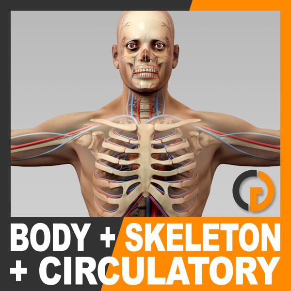 human male body circulatory 3d model