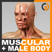 anatomically human male body max