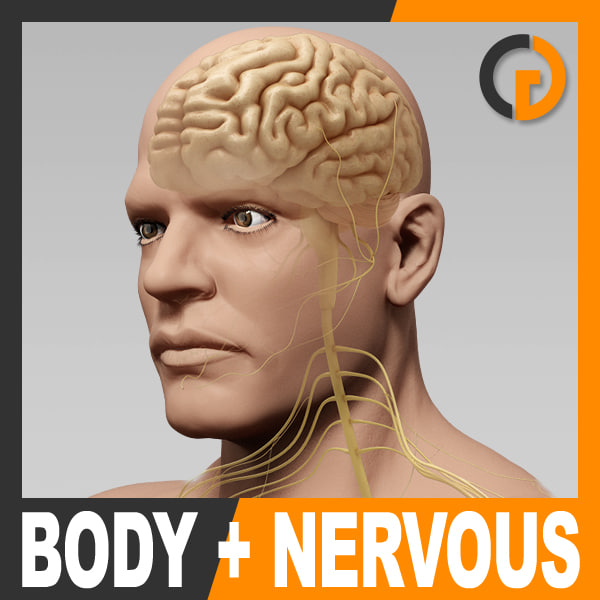 anatomically human male body 3ds