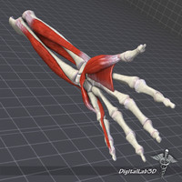 human arm forearm structure 3d model