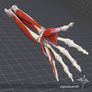 max human arm forearm structure