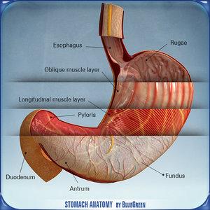 stomach anatomy 3d 3ds