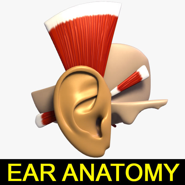 3d model muscles ear anatomy
