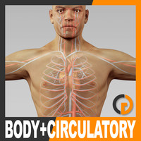 Human Male Body and Circulatory System - Anatomy