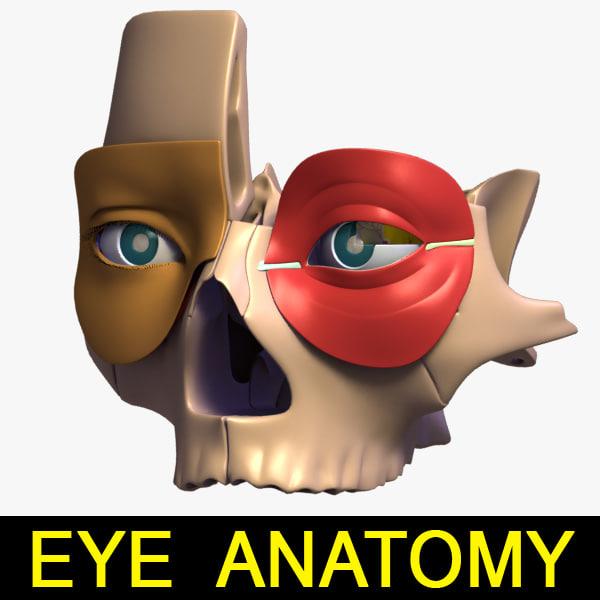 3d anatomy eye model