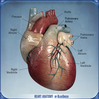 heart anatomy 3d c4d