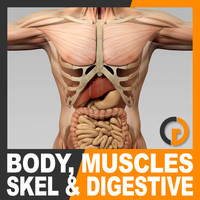 Human Male Body Muscular Digestive System and Skeleton - Anatomy