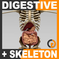 Human Digestive System and Skeleton - Anatomy