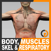 Human Male Body Muscular Respiratory System and Skeleton - Anatomy