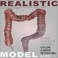 3ds max colon large intestine