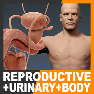 3d model human male body urinary