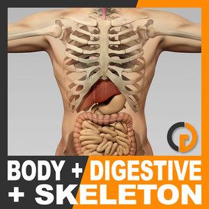 3d human male body digestive model