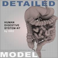 3d human digestive colon