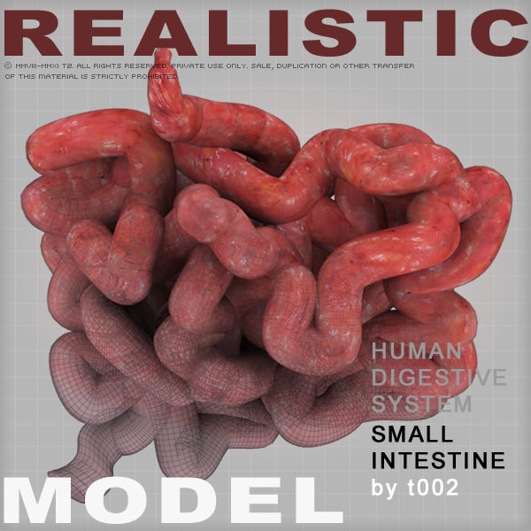 3d model small intestine digestive