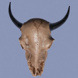 max bison skull
