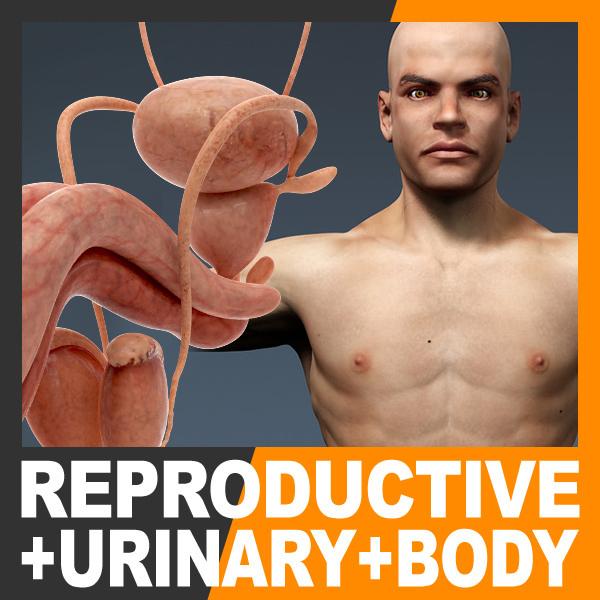 max human male body urinary
